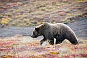 'Brown Bear (Ursus Arctos) Walks Along With Fall Colors In Denali National Park;Alaska United States Of America'