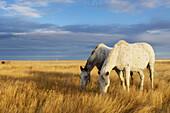 'Horses Grazing In Cypress Hills Provincial Park;Alberta Canada'