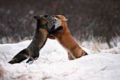 'Foxes Play Fighting In The Snow;Churchill Manitoba Canada'
