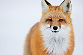 'Portrait Of Red Fox;Churchill Manitoba Canada'