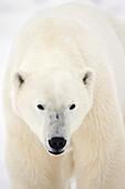 'Portrait Of Polar Bear On The Shore Ice Of Hudson's Bay;Churchill Manitoba Canada'