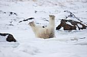 'Polar Bear Rolling Around In The Snow;Churchill Manitoba Canada'