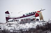 'Polar Bear Checking Out A Plane At Seal River Lodge;Churchill Manitoba Canada'