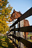 'Horse By Farm Fence In Autumn;Caledon Ontario Canada'