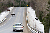 'Two Moose Crossing In Front Of A Car On A Busy Road In Gaspesie National Park;Quebec Canada'