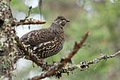 'Female Spruce Grouse In Gaspesie National Park;Quebec Canada'