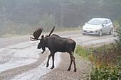 'Bull Moose Crossing Road In Front Of Car During Rut Season In Gaspesie National Park;Quebec Canada'