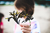 'Close-Up Of Seaweed In A Young Boy's Hand On A Beach;Saint-Simeon Quebec Canada'