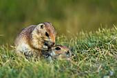 'Prairie Dogs In Grasslands National Park;Saskatchewan Canada'