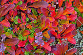 'Bearberry Shrub Turns Red During The Brief Autumn Along The Dempster Highway;Yukon Canada'