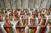 'Red (Sockeye) Salmon (Oncorhynchus Nerka) Hangs To Dry At A Fish Camp On Six Mile Lake Near Nondalton Alaska Adjacent To Lake Clark National Park And Preserve;Alaska United States Of America'