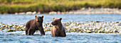 Brown Bear cubs fishing for salmon in Mikfik Creek, McNeil River State Game Sanctuary, Southwest Alaska, Summer