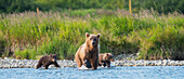 Brown Bear sow and cubs fishing for salmon in Mikfik Creek, McNeil River State Game Sanctuary, Southwest Alaska, Summer