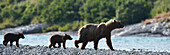 Panoramic of Brown Bear sow and cubs on the shore of Mikfik Creek, McNeil River State Game Sanctuary, Southwest Alaska, Summer