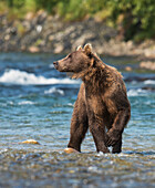 Brown Bear fishing for salmon in Mikfik Creek, McNeil River State Game Sanctuary, Southwest Alaska, Summer