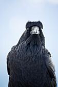 Portrait of Raven in Olympic Mountains, Washington, USA