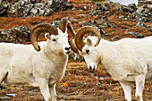 Dall sheep (Ovis dalli)  ram playfully butting older ram, standing on alpine tundra in front of rocky ridge, Fall, Denali National Park, USA, Interior Alaska.