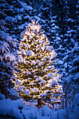 Lit Christmas Tree in snow covered forest of spruce trees, Chugach Mountain foothills, Southcentral Alaska, Winter
