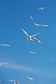 Glaucous-winged Gulls, Sankin Island, Ikatan Bay, Aleutian Islands, Southwest Alaska, summer.
