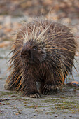Porcupine along the Kobuk River, Kobuk Valley National Park, Northwest Alaska, Arctic, summer