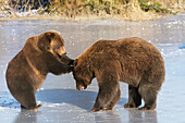Captive pair of Brown bears play together on frozen lake at the Alaska Wildlife Conservation Center in Portage, Southcentral Alaska, Winter
