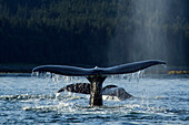 A group of Humpback whales surface while feeding in the bountiful waters of SE Alaska's Inside Passage, Favorite Channel, near Juneau. Two whales raise their flukes as they return to the depths.