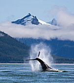 On a sunny morning a Humpback whale repeatedly pounds its flukes on the calm surface of the Inside Passage near Juneau's, Favorite Channel. Coast Range mountains rise beyond. This behavior is known as Tail Lobbing. Composite.