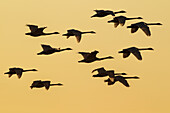 Trumpeter Swans take to the air at sunset above Marsh Lake as they make their way towards their next destination during Spring migration, Yukon, Canada. Composite.