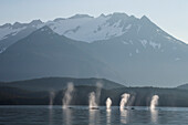 On a calm morning a group of Humpback whales fill their lungs with air before retruning to feed along a forested shoreline in SE Alaska's Inside Passage, Favorite Channel, near Juneau. Coast Range mountains rise beyond.