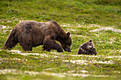 A brown bear cub plays on the tundra while its mother forages for berries in Katmai National Park, Alaska.