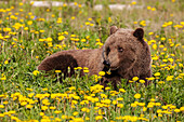A Brown bear forages on dandelions, Alsek-Tatenshini National Park, accessable from the Haines to Haines Junction section of the Alaska Highway, Spring, Yukon, Canada.