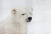 'Captive, Portrait of ''Kali'', a 2-3 month old orphaned male polar bear cub in a fenced outdoor play area at the Alaska Zoo in Anchorage, Alaska.  '