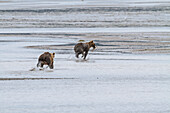 A coastal brown bear hoping to steal a fish, chases another bear who has caught a salmon on the tidal flats of Chinitna Bay, Lake Clark National Park & Preserve, Alaska.  Summer.