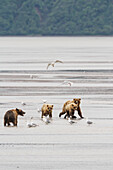 A coastal brown bear sow and two cubs looking for salmon, run across the tidal flats of Chinitna Bay, Lake Clark National Park & Preserve, Alaska while seagulls look on.  Summer.