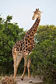 South Africa, Garden Route, Giraffe, Kariega Game Reserve