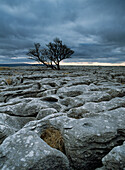 Solitary hawthorne tree on limestone pavement near Ingleborough Hill, Yorkshire Dales National Park, North Yorkshire, England
