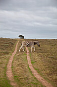 South Africa, Garden Route, Zebra crossing dirt track, Kariega Game Reserve