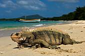 Iguana on Paradise Beach, Carriacou Island, Grenadines, Grenada, Caribbean