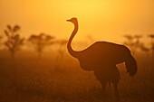 Silhouette of ostrich at dawn, Ol Pejeta Conservancy, Kenya. © Ian Cumming / Axiom