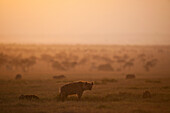 Hyena with cubs at dawn in Ol Pejeta Conservancy, Laikipia Country, Kenya