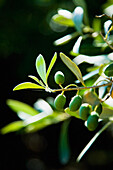 Green olives ripening in sunshine, Sithonia, Halkidiki, Greece