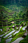 Alex, Adams, nobody, Outdoors, Day, Elevated View, Agriculture, Landscape, Scenics, Beauty In Nature, Palm Tree, Travel Destinations, Travel, Freshness, Idyllic, Journey, Tranquility, Bali, Ubud, Exotic, Rice Field, Verdant, Indonesia, Nobody, Open Air, O