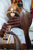 Alex, Adams, Outdoors, Day, Young Men, One Person, Two Animals, Animal Themes, Travel Destinations, Traditional Culture, Music, Travel, Flexibility, Ideas, Journey, Skill, India, Rajasthan, Colorful, Jaipur, Snake, Cobra, Flute, Basket, Open Air, Outside,