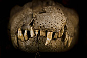 Alex, Adams, nobody, Studio Shot, Close-Up, Part Of, Black Background, One Animal, Animal Themes, Nature, Wildlife, Natural Pattern, Bizarre, Mystery, Black Caiman, Jaw, Peru, Cuzco, Dead Animal, Danger, Reptile, Zoology, Animal Teeth, Animal Body Part, C