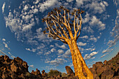 Lars, Froelich, nobody, Outdoors, Day, Low Angle View, Wide Angle, Nature, Morning, Sunlight, Cloud, Cloudscape, Landscape, Mountain, Tree, Rock Formation, Idyllic, Tranquility, Scenics, Beauty In Nature, Sky, Namibia, Rock, Plant, Botany, quiver tree, ci