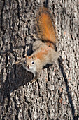 Red Squirrel Climbing Down A Tree, Ontario