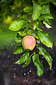 Apple Growing In The Rain In Okanagan Valley, Osoyoos British Columbia Canada