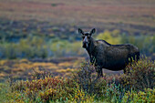 Female Moose In The Tundra During Autumn Along The Dempster Highway, Yukon Canada