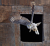 Great Horned Owl Flying Out Of An Old Barn Window, Saskatchewan Canada