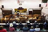 A cattle auction, Saskatoon saskatchewan canada